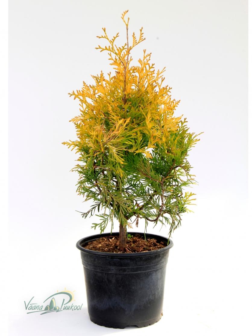 Harilik elupuu Yellow Ribbon