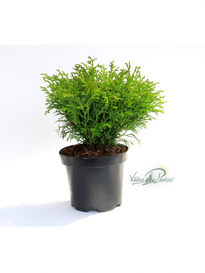Hiibapuu Nana