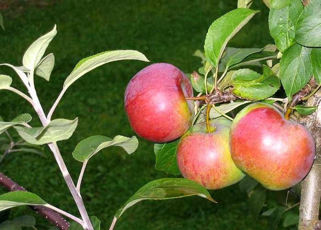 Яблоня кортланд описание фото